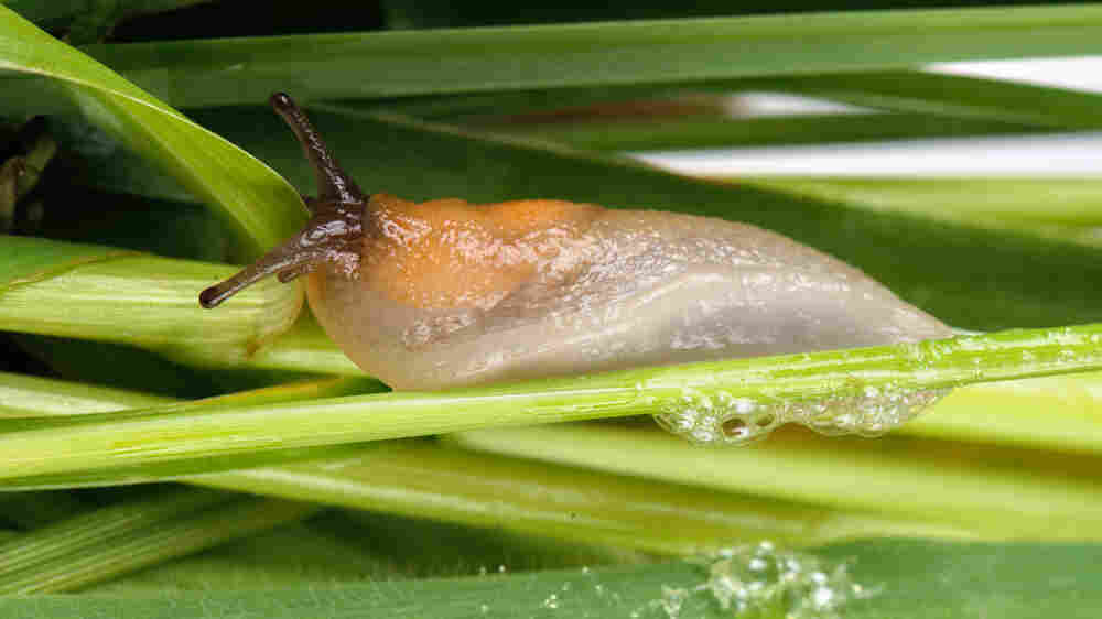 Slug Slime Inspires Scientists To Invent Sticky Surgical Glue