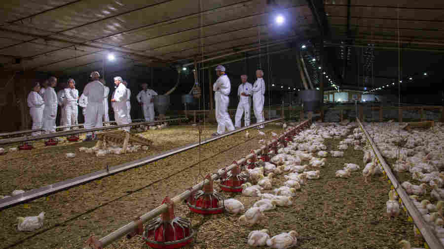 Perdue Farms Signs Up For A Chicken Welfare Revolution