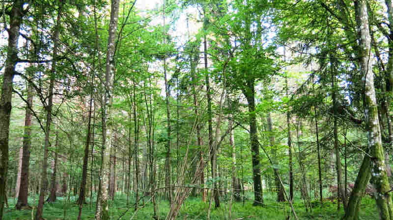Poland Clashes With European Union Over Logging In Primeval Forest