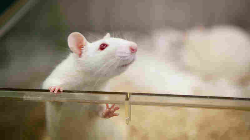 From Rats To Humans, A Brain Knows When It Can't Remember