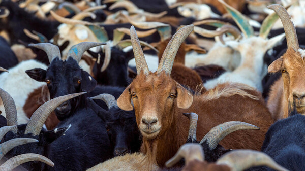 """The so-called """"goat plague"""" started out in the Ivory Coast and has spread as far as Mongolia, where goats (above) and sheep and antelopes and even camels are at risk."""
