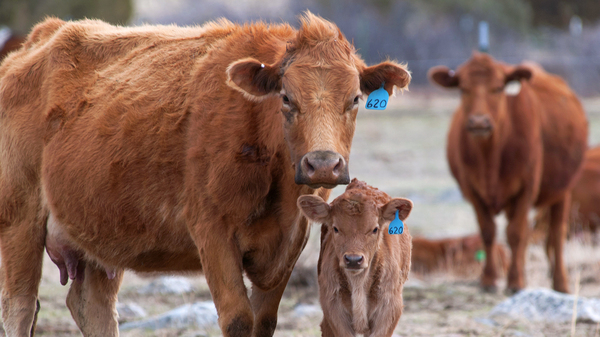 A Gelbvieh cow and her calf on a ranch in Paradise Valley, Montana. From Montana cattle ranchers to Florida tomato growers, some bruised by NAFTA think it has favored agribusiness over small-scale farms, lowered environmental standards and made it harder to compete against cheaper imports.