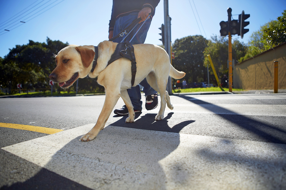 New research found a link between how puppies interact with their mothers and how they perform in guide dog training. (Westend61/Getty Images)