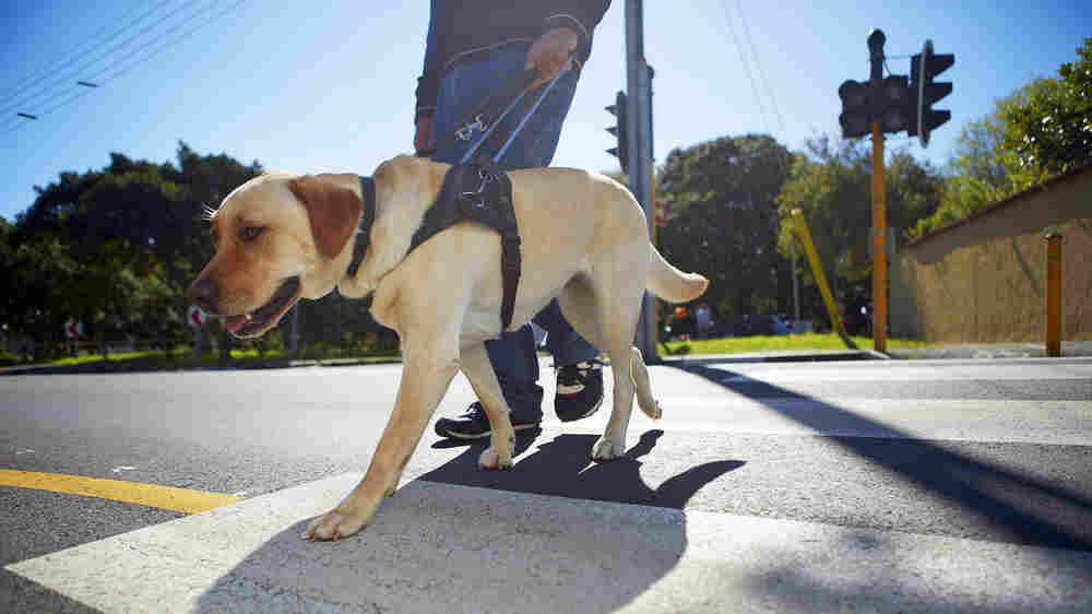 Coddled Puppies Make Poor Guide Dogs, Study Suggests