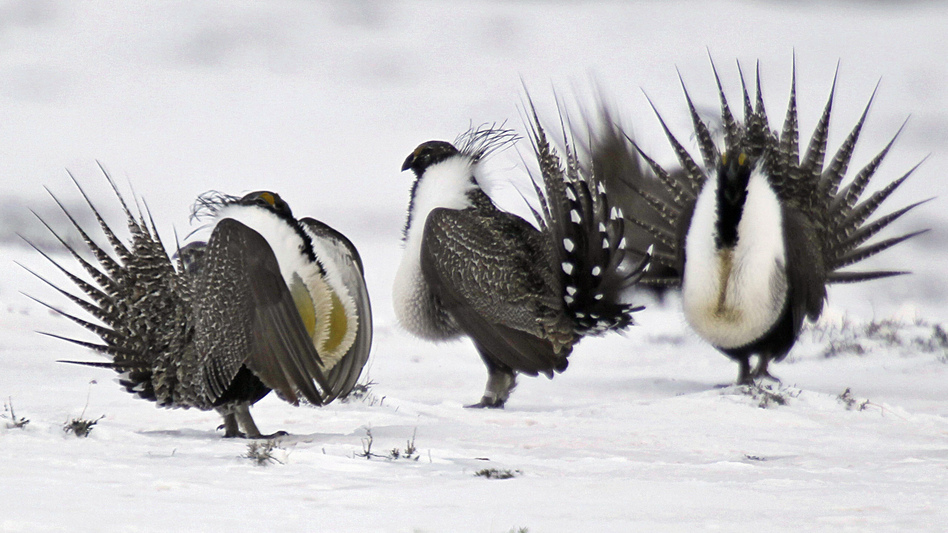 Photographed in Walden, Colo., in 2013, greater sage grouse perform mating rituals. The Trump administration is revising a conservation plan for the imperiled species. (David Zalubowski/AP)