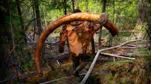 Woolly Mammoths Are Long Gone, But The Hunt For Their Ivory Tusks Lives On