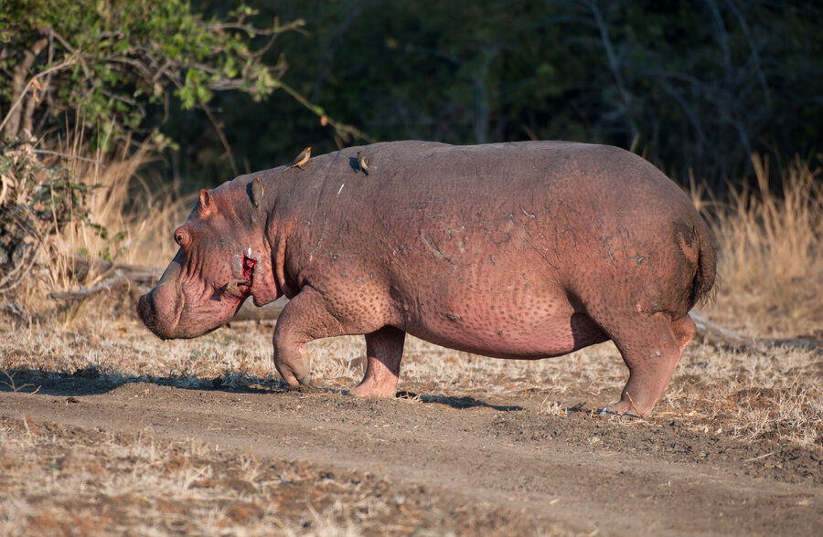 hippos anthrax and hunger make a deadly mix - Pictures Of Hippos