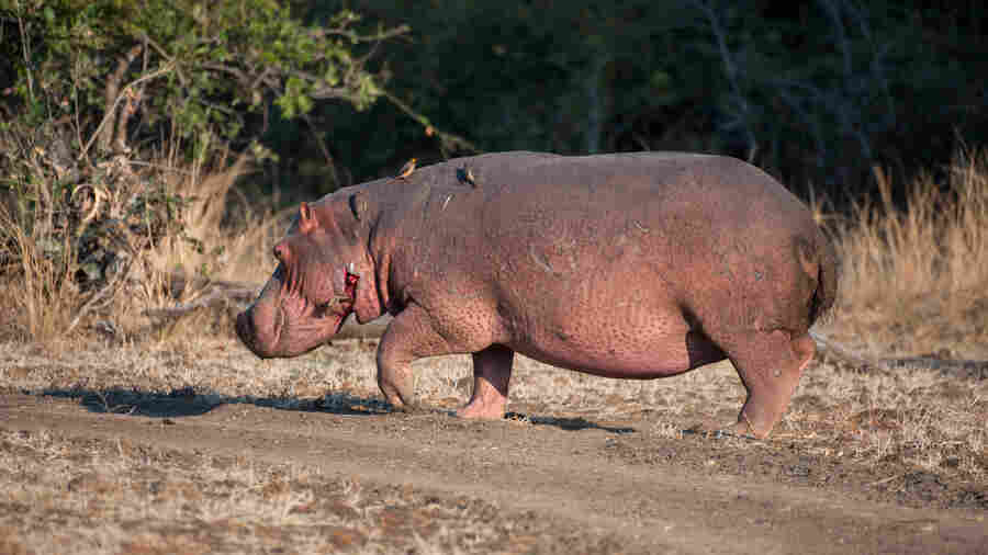 Hippos, Anthrax And Hunger Make A Deadly Mix