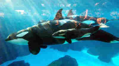 SeaWorld Euthanizes Matriarch Killer Whale Who Had Respiratory Disease