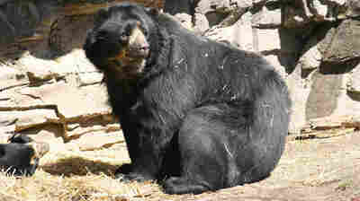 Bears Can Face Summer Challenges In Roadside Zoos