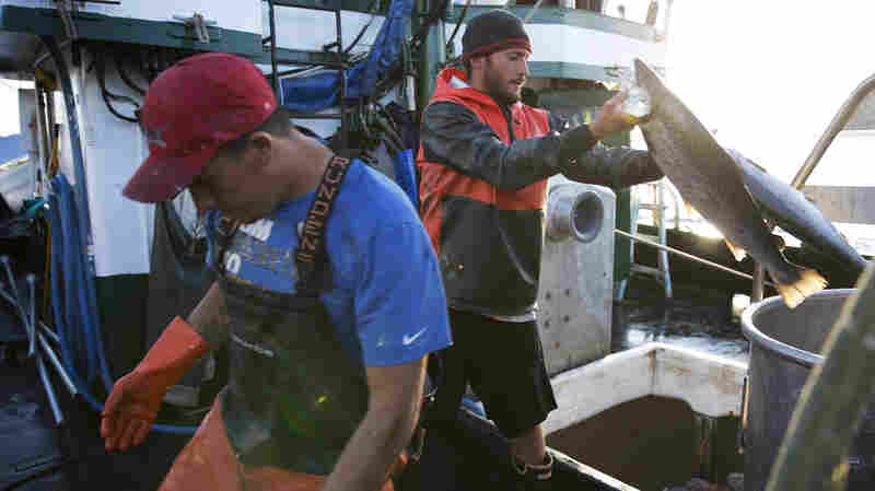 'Environmental Nightmare' After Thousands Of Atlantic Salmon Escape Fish Farm