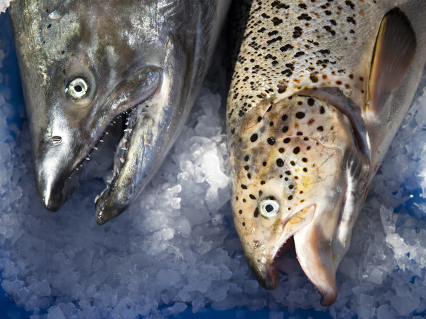 Washington state posted an identification guide to help fishers distinguish Atlantic salmon (right) from native Pacific salmon species.