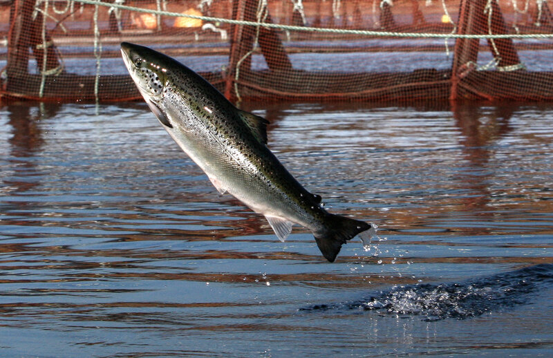 Why Are Atlantic Salmon Being Farmed In The Northwest The Salt Npr