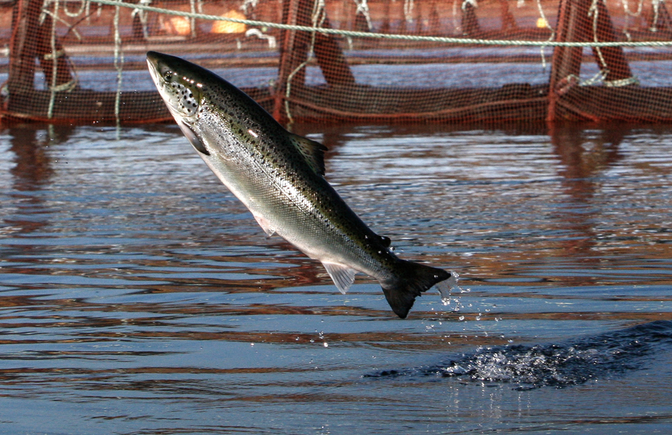 Washington has eight Atlantic salmon net pens. There are two types: commercial net pens for raising Atlantic salmon and enhancement net pens for wild salmon that will eventually be released. (Robert F. Bukaty/AP)