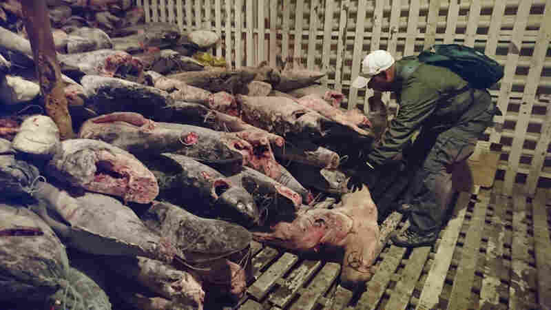 Fishermen Caught With 6,600 Sharks In Galápagos, Now Headed To Prison