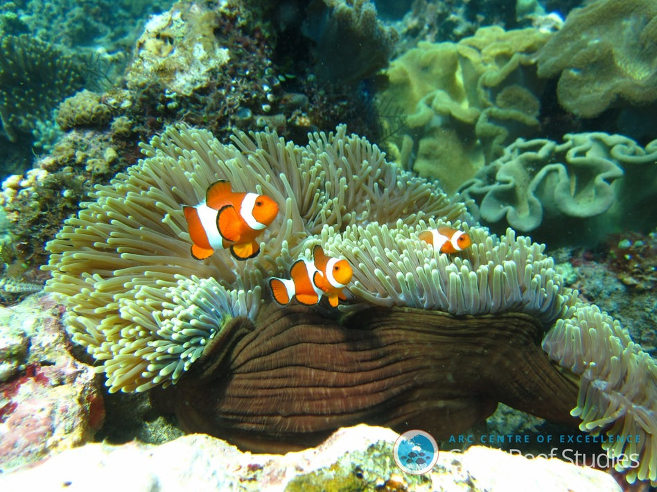 An orange clownfish, <em>Amphiprion percula</em>, lives in symbiosis with a host anemone on the Great Barrier Reef. (Alejandro Usobiaga/Scientific Reports)