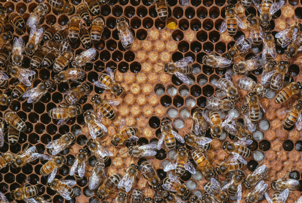 Honeybee (Apis mellifera) workers tending larvae on brood comb. The larvae that will grow up to be workers have a plant-based diet of a mix of honey and pollen.