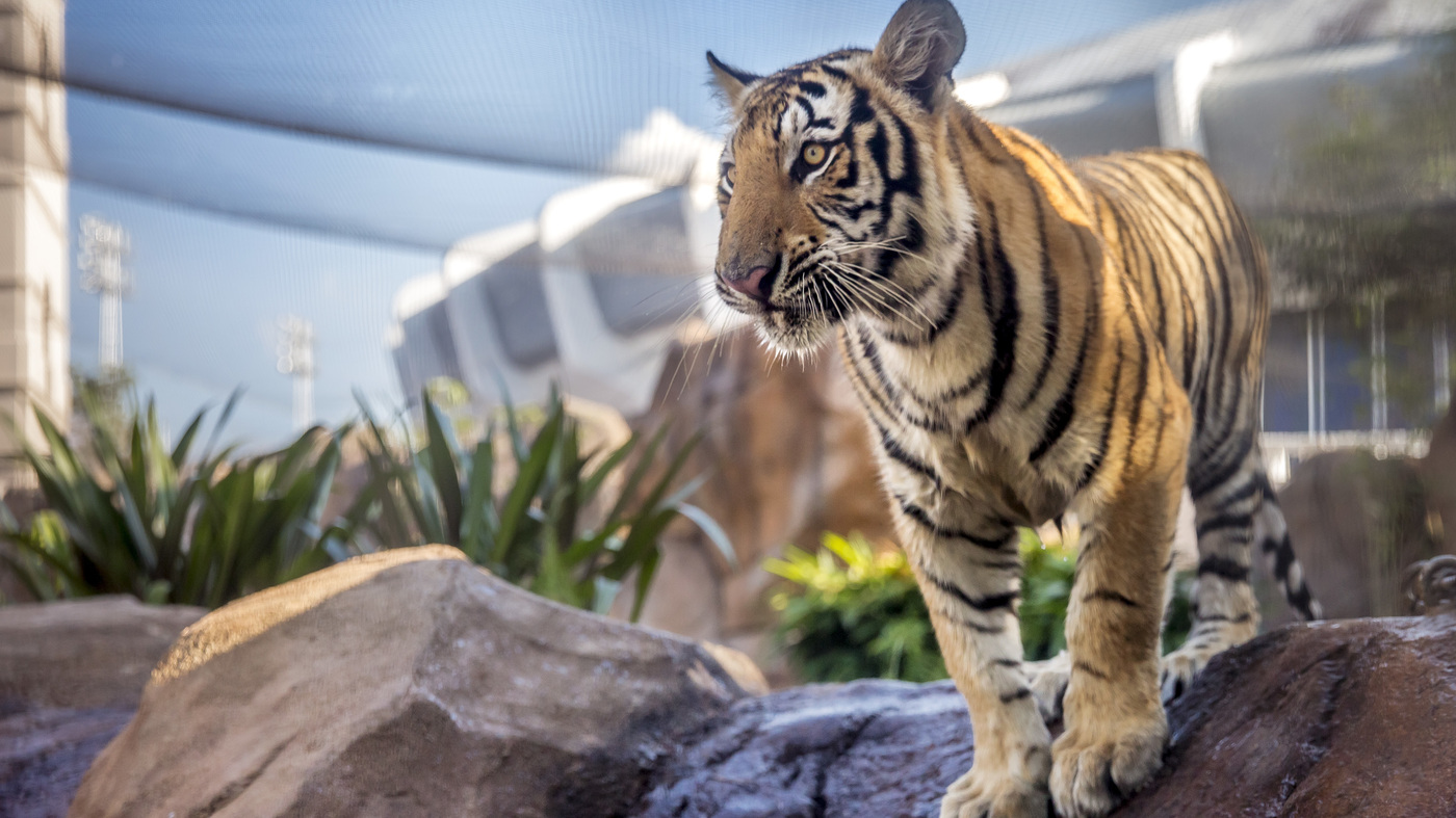 The LSU Tigers' New Tiger Makes His Debut : NPR