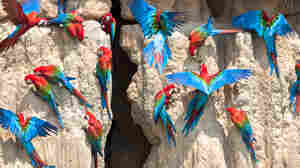 Why Do Parrots (And People) Eat Clay?