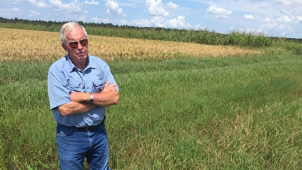 Rice farmer John Gaulding wades through the roughly 8 inches of water still filling his fields in rural Hamshire, Texas. At its worst, he says, the water was as high as 30-36 inches.