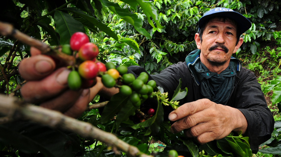A coffee farmer picks fresh coffee cherries in Colombia. New climate research suggests Latin America faces major declines in coffee-growing regions, as well as bees, which help coffee to grow.