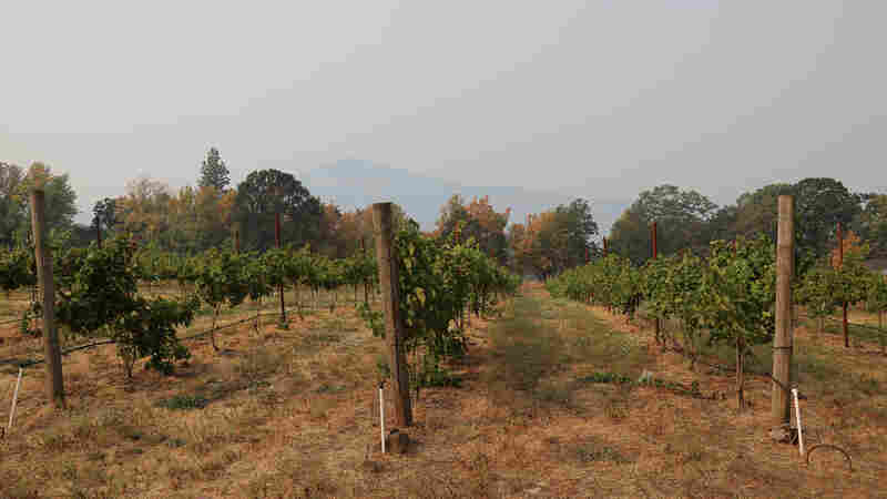 Pacific Northwest Winemakers Worry Wildfire Smoke Could Ruin Harvest