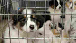 Pet Store Puppies Linked To Campylobacter Outbreak In People
