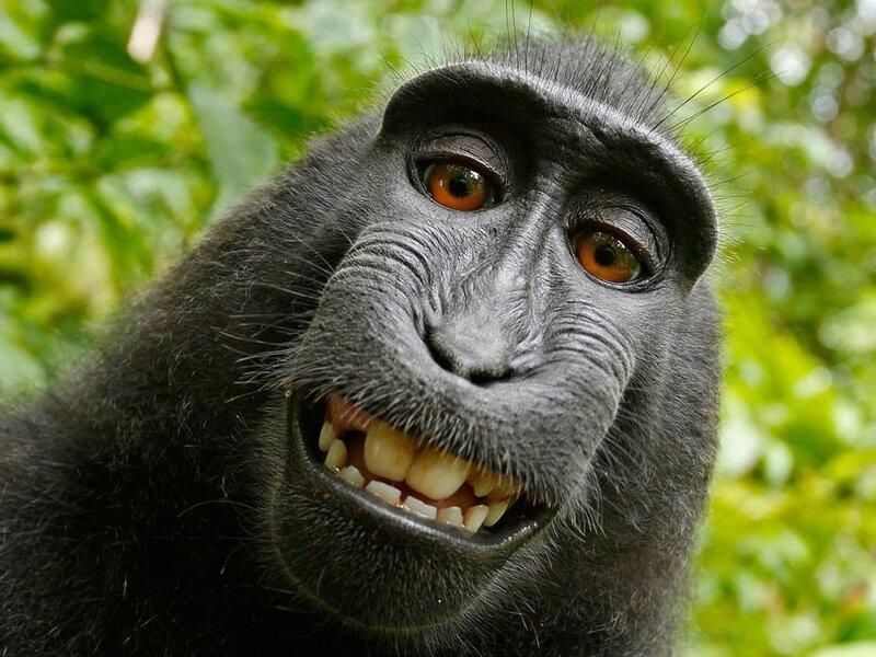 Monkey Selfie' Lawsuit Ends With Settlement Between PETA, Photographer :  The Two-Way : NPR