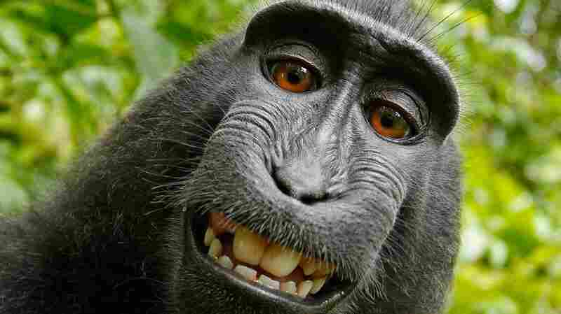 'Monkey Selfie' Lawsuit Ends With Settlement Between PETA, Photographer