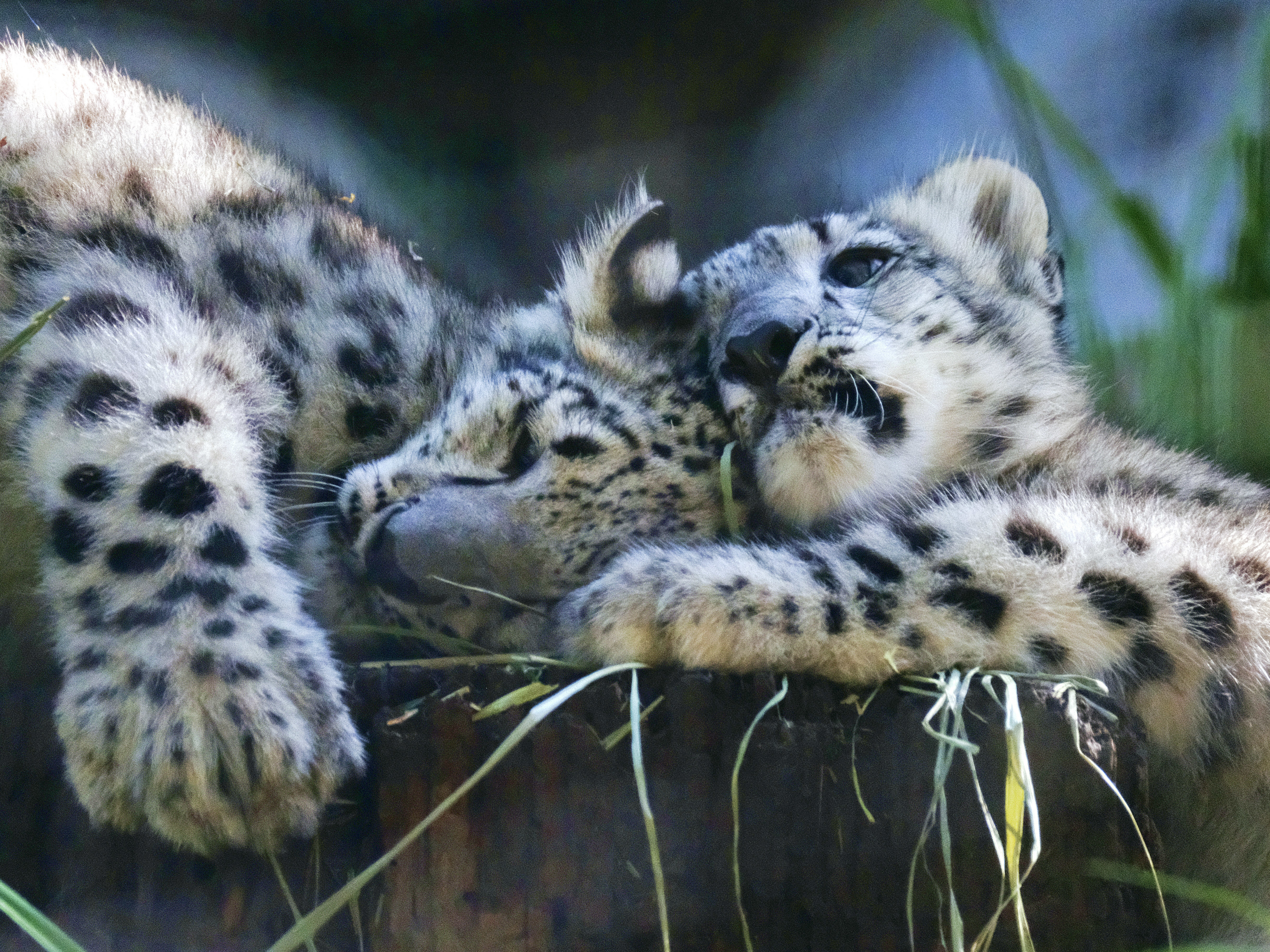 Snow leopard: Long-endangered big cat upgraded to 'vulnerable' status