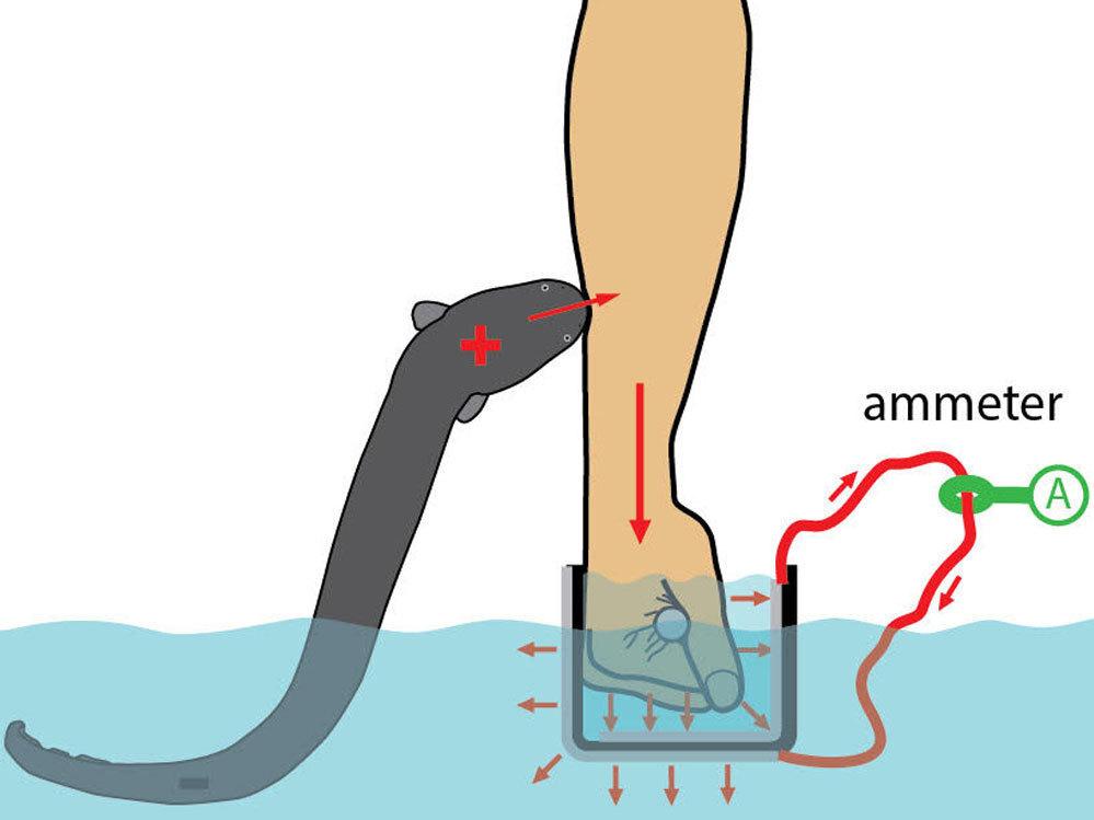 Electric Eel Power Source
