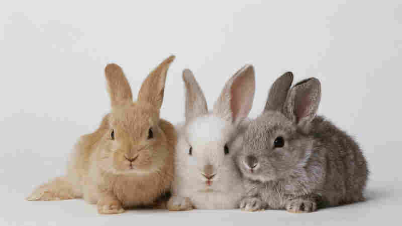 Let Them Eat Rabbit Is Venezuelan President's Response To Food Shortages