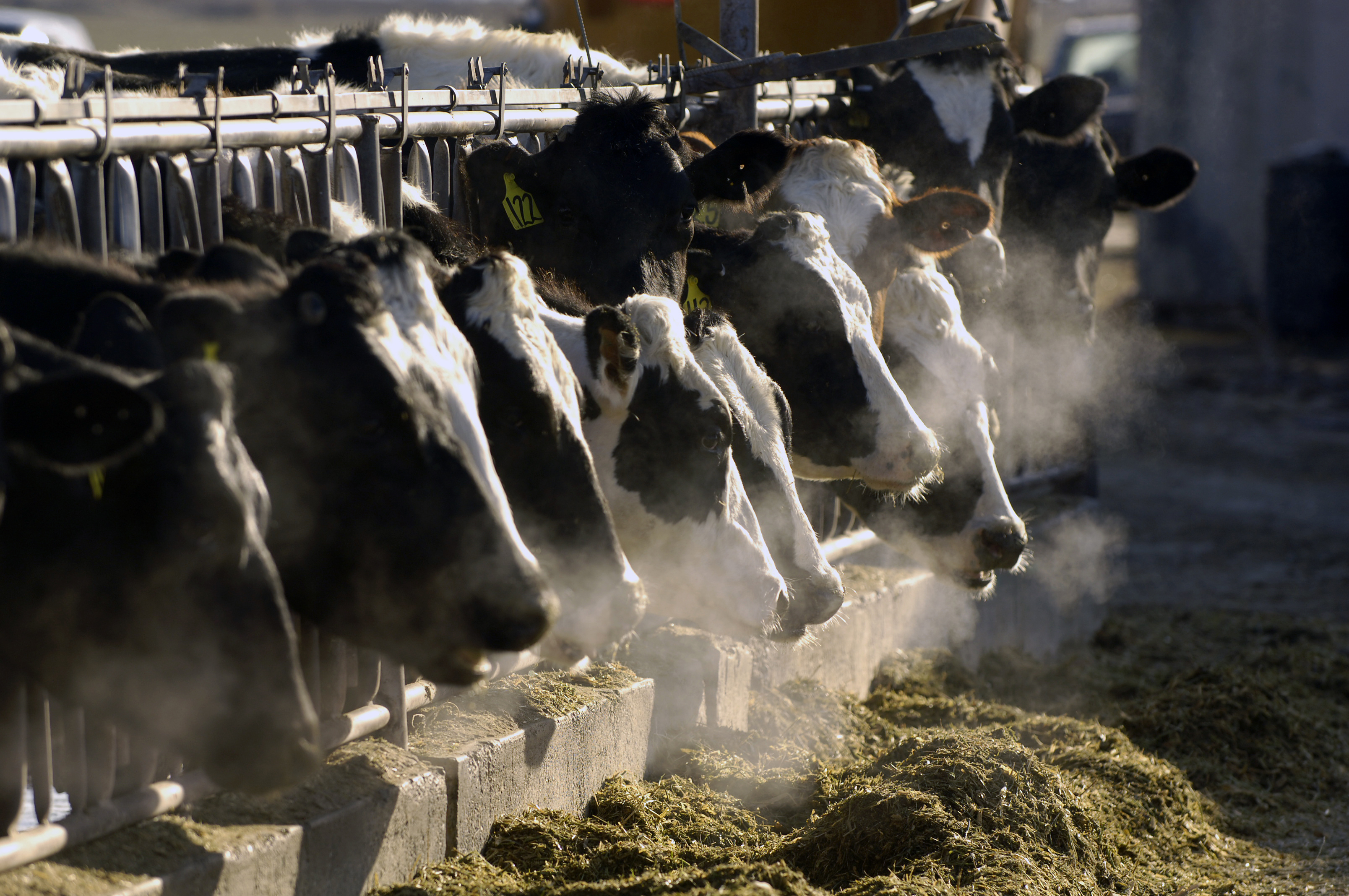 Gassy Cows Warm The Planet. Scientists Think They Know How To Squelch Those Belches
