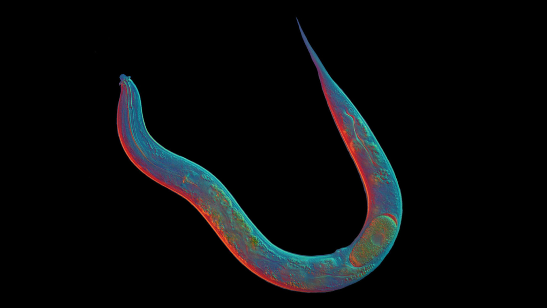 Tiny, Transparent Worm Challenges Notions About Sex