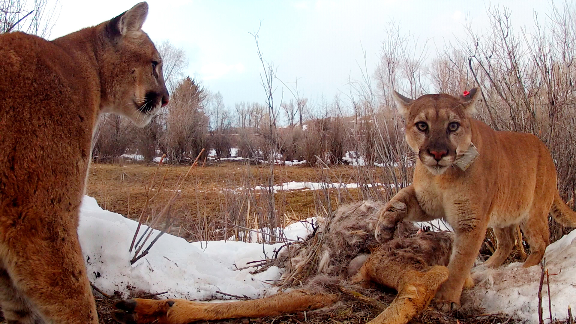 Image for Pumas Are Not Such Loners After All Article