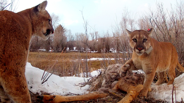 Adult female with young male coming in (without collar) to her kill.