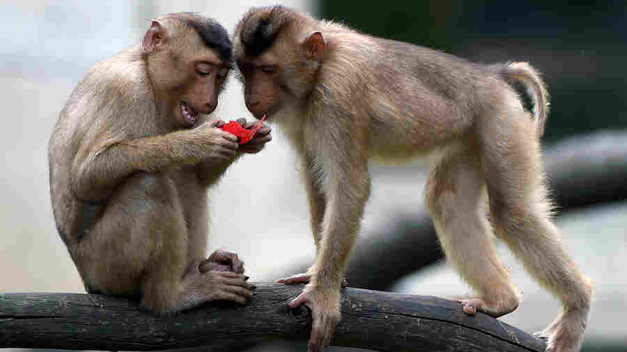 Scientists Push To House More Lab Monkeys In Pairs