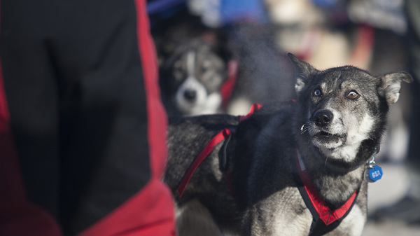 Sled dogs at the 45th Iditarod Trail Sled Dog Race in Fairbanks, Alaska, in March. The race board says several dogs from a single team tested positive for a banned substance.