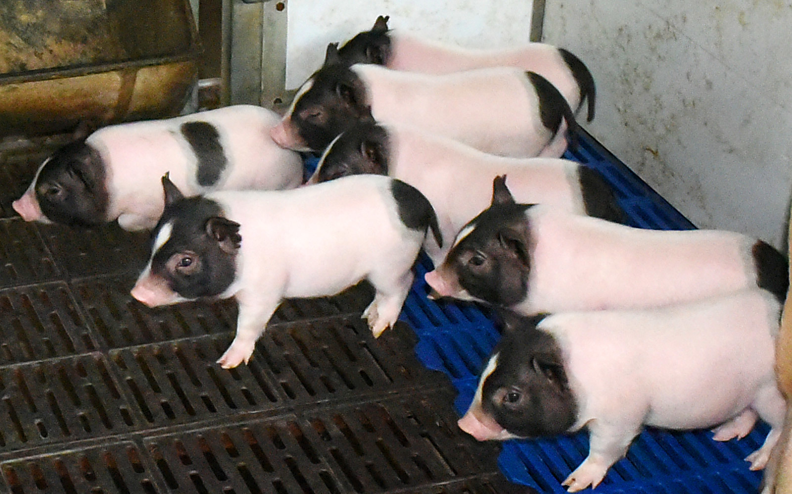 CRISPR Bacon: Chinese Scientists Create Genetically Modified Low-Fat Pigs