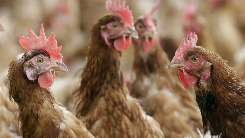 Big Chicken Connects Poultry Farming To Antibiotic Resistant