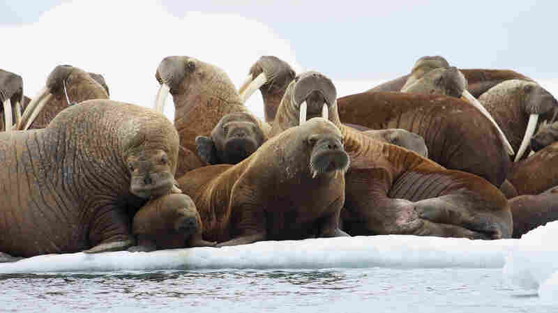 On Thin Ice: Walruses Threatened After U.S. Declines To List As Endangered
