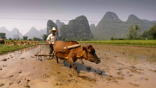 A farmer plows his field with an ox-pulled plow in China