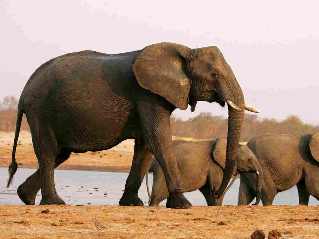 Elephants Unmoved by Trump's Backtracking on Trophy Ban:
