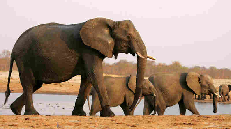 Trump Keeps Elephant Trophy Import Ban In Place, For Now