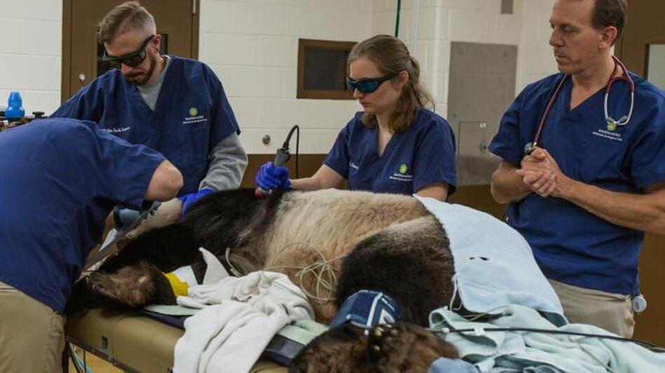 Tian Tian receives laser therapy treatment during a full veterinary exam. (Roshan Patel/Smithsonian's National Zoo)