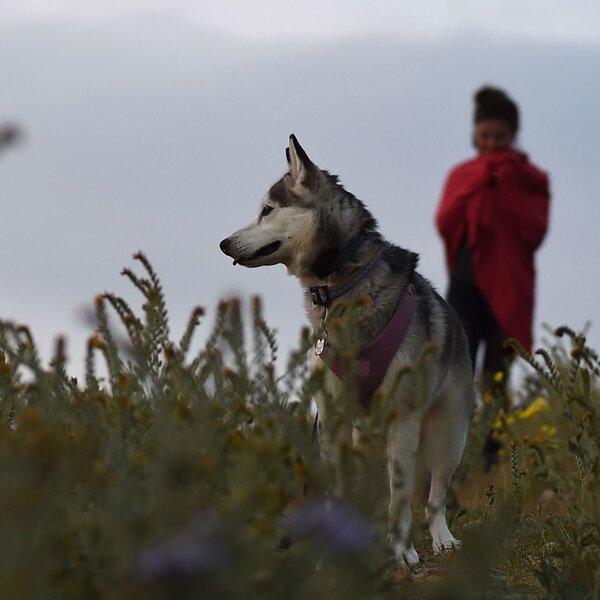 瑞典数据建议,狗主人患心血管疾病的风险较低
