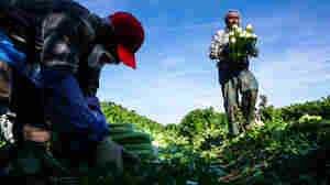 Health Risks To Farmworkers Increase As Workforce Ages