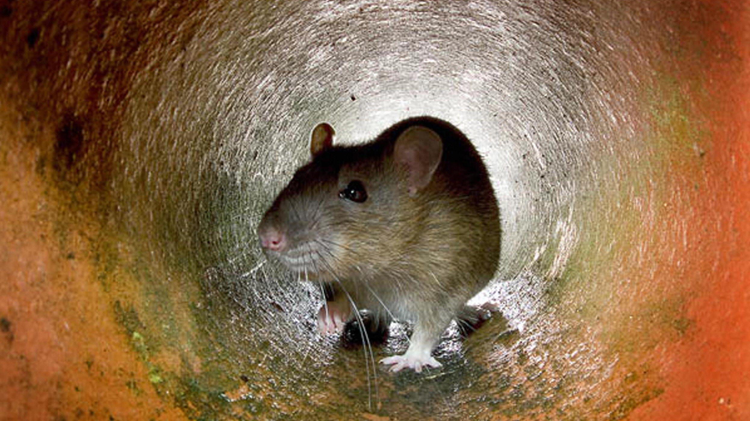 Image for The Genetic Divide Between NYC's Uptown And Downtown Rats Article