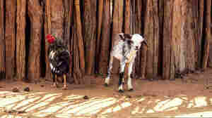 How Chickens And Goats Are Helping To Stop Child Marriage
