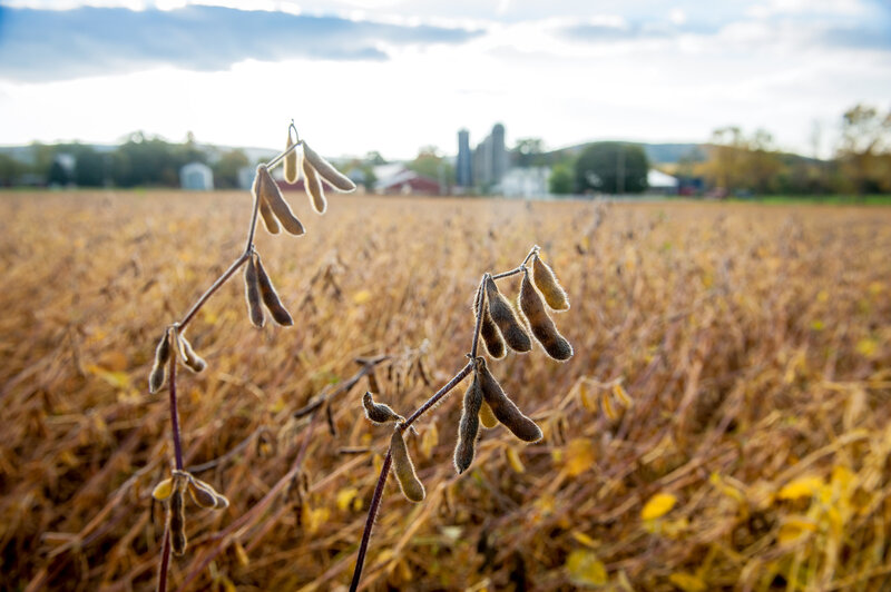 the soybean is king yet remains invisible the salt npr